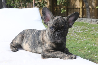 Medium French Bulldog