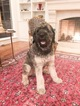 Fabulous One Year Old Giant Schnauzer