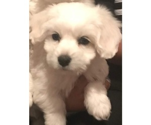 Coton de Tulear Puppy for Sale in SALT LAKE CITY, Utah USA
