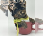 Small #15 Yorkshire Terrier