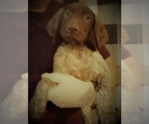 German Shorthaired Pointer Puppy for Sale in SCOTTSDALE, Arizona USA