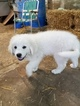 Great Pyrenees Puppy For Sale near 53534, Edgerton, WI, USA