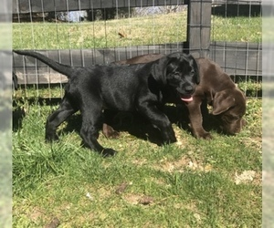 Labrador Retriever Puppy for sale in WHITE BLUFF, TN, USA