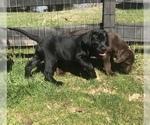 Labrador Retriever Puppy For Sale in WHITE BLUFF, TN, USA