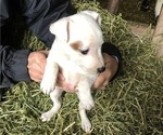 Puppy 7 Jack Russell Terrier