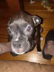 Boxer Puppy For Sale in INDEPENDENCE, MO, USA
