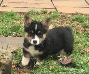 Pembroke Welsh Corgi Puppy for Sale in MACKEYVILLE, Pennsylvania USA
