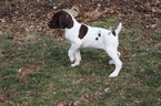 German Shorthaired Pointer Puppy For Sale in BLAINSPORT, Pennsylvania,