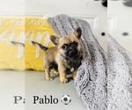 Small #9 Chihuahua