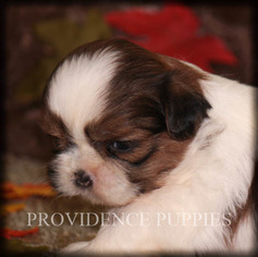 Shih Tzu Puppy for sale in COPPOCK, IA, USA
