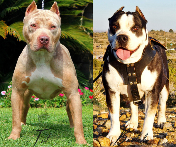 Medium Photo #1 American Bully Puppy For Sale in PALMDALE, CA, USA