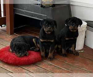 Rottweiler Puppy for sale in MONEE, IL, USA