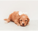 Small #1 Goldendoodle (Miniature)
