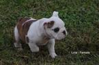 Bulldog Puppy For Sale in COAL CITY, IN