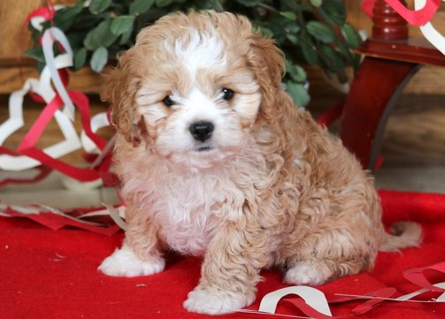 View Ad Cavapoo Puppy For Sale Pennsylvania Mount Joy Usa