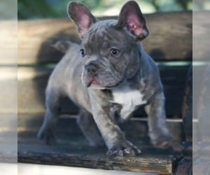 French Bulldog Dog for Adoption in ANNAPOLIS, Maryland USA