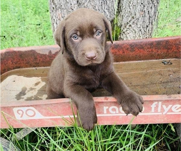 Medium Photo #2 Labrador Retriever Puppy For Sale in AVA, MO, USA