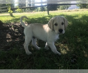Labrador Retriever Puppy for sale in JOHNSTOWN, OH, USA
