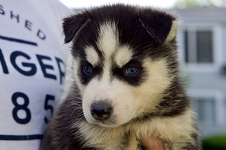 Siberian Husky Puppy For Sale in RIVERSIDE, RI, USA
