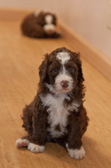 Australian Labradoodle Puppy For Sale in SPRINGFIELD, OR