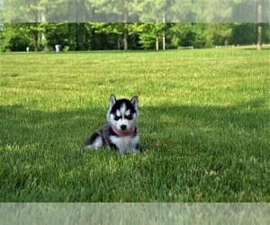 Siberian Husky Puppy for sale in GOSHEN, IN, USA