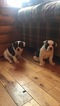 American Bulldog Puppy For Sale in NUNDA, NY, USA