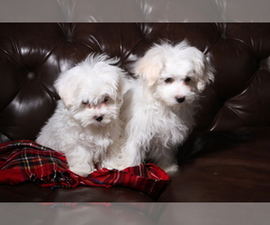 Maltese Puppy for Sale in WOODSTOCK, Connecticut USA