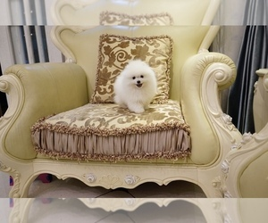 Pomeranian Puppy for sale in ARCADIA, CA, USA