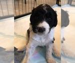 Puppy 11 Bordoodle