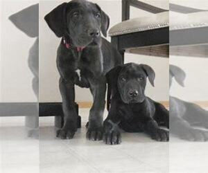 Great Dane Puppy for sale in KOKOMO, IN, USA