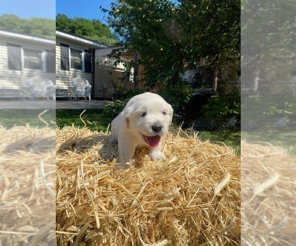 Medium Photo #13 English Cream Golden Retriever Puppy For Sale in ARCHBALD, PA, USA
