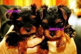 Airedale Terrier Dogs for adoption in LOS ANGELES, CA, USA