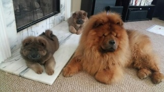 Chow Chow Puppy For Sale in DECATUR, GA