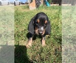 Small #1 Bluetick Coonhound