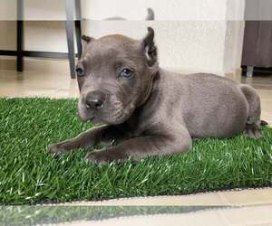 American Bully Puppy for sale in SAN DIEGO, CA, USA