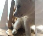 Small #8 Siberian Husky
