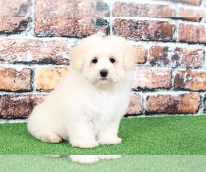 Maltichon Puppy for sale in BEL AIR, MD, USA