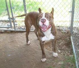 Pibbles - Terrier Dog For Adoption