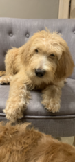 Medium Poodle (Standard)-Spinone Italiano Mix