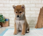 Small Photo #3 Shiba Inu Puppy For Sale in SEATTLE, WA, USA