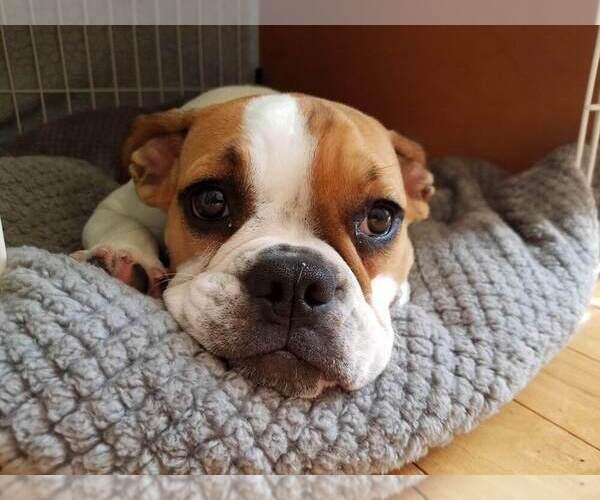 Medium Photo #3 Beabull Puppy For Sale in AURORA, IL, USA
