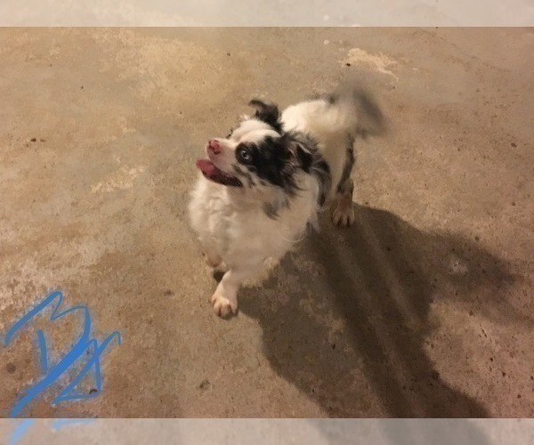 Medium Photo #1 Bullhuahua-Chihuahua Mix Puppy For Sale in RAWSONVILLE, MI, USA