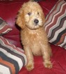 Labradoodle Puppy For Sale in LINCOLN, AL, USA