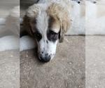 Small #4 Anatolian Shepherd-Maremma Sheepdog Mix