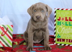 Silver Lab Puppy For Sale