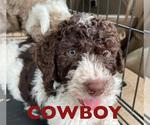 Puppy 3 F2 Aussiedoodle