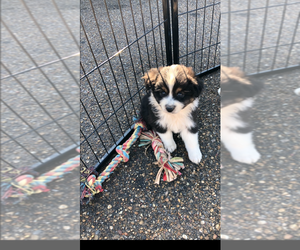 Australian Shepherd Puppy for sale in MONTICELLO, MS, USA