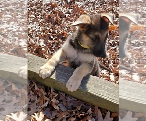 German Shepherd Dog Puppy for sale in WINFIELD, MO, USA