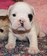 English Bulldog Puppy For Sale in LAKEWOOD VILLAGE, TX, USA