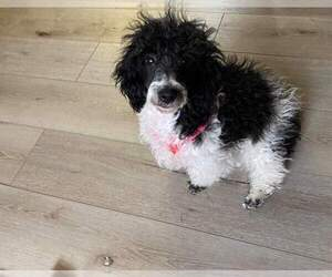 Poodle (Miniature) Dog for Adoption in BARREN, Illinois USA